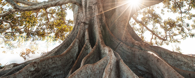 Kapokbaum